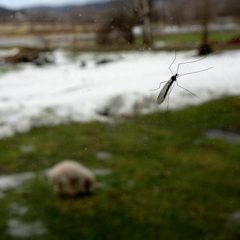 mosquito-fb