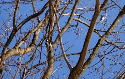 woodpeckers-2